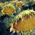 dying-sunflowers-in-field-sami-sarkis