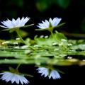 Water Lilies Still Life Wide Desktop Background