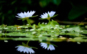 Water Lilies Still Life Wide Desktop Background