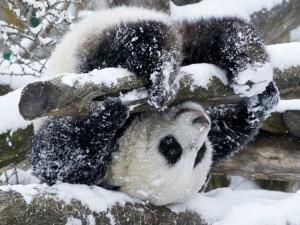 панда в снега