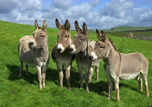 four donkeys - standing on meadow