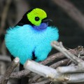 paradise tanager 1