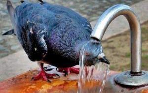 гълъб-се-разхлажда-1