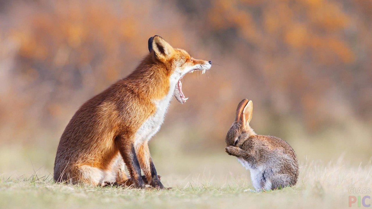 Лиса обои лиса картинки лиса фото