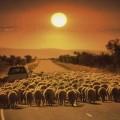 tir-padna-v-kanavka-zaradi-stado-ovce-102897