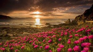 www.GetBg.net_Nature___Flowers_Pink_flowers_by_the_sea_at_sunset_099920_