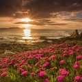 Nature___Flowers_Pink_flowers_by_the_sea_at_sunset_099920_
